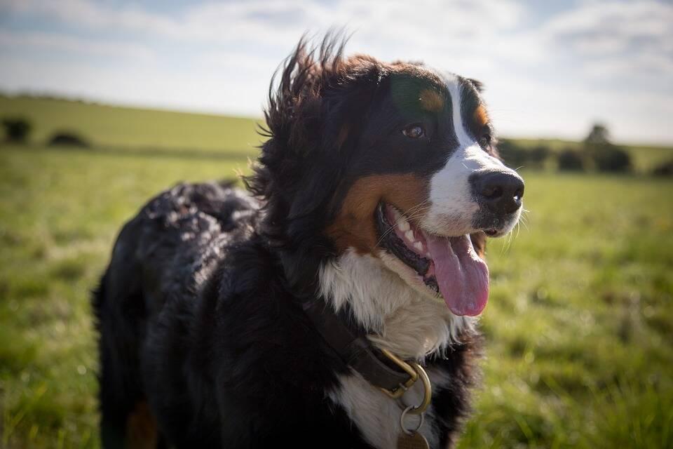 O Bernese também é usado como cão de pastoreio. Foto: Pixabay