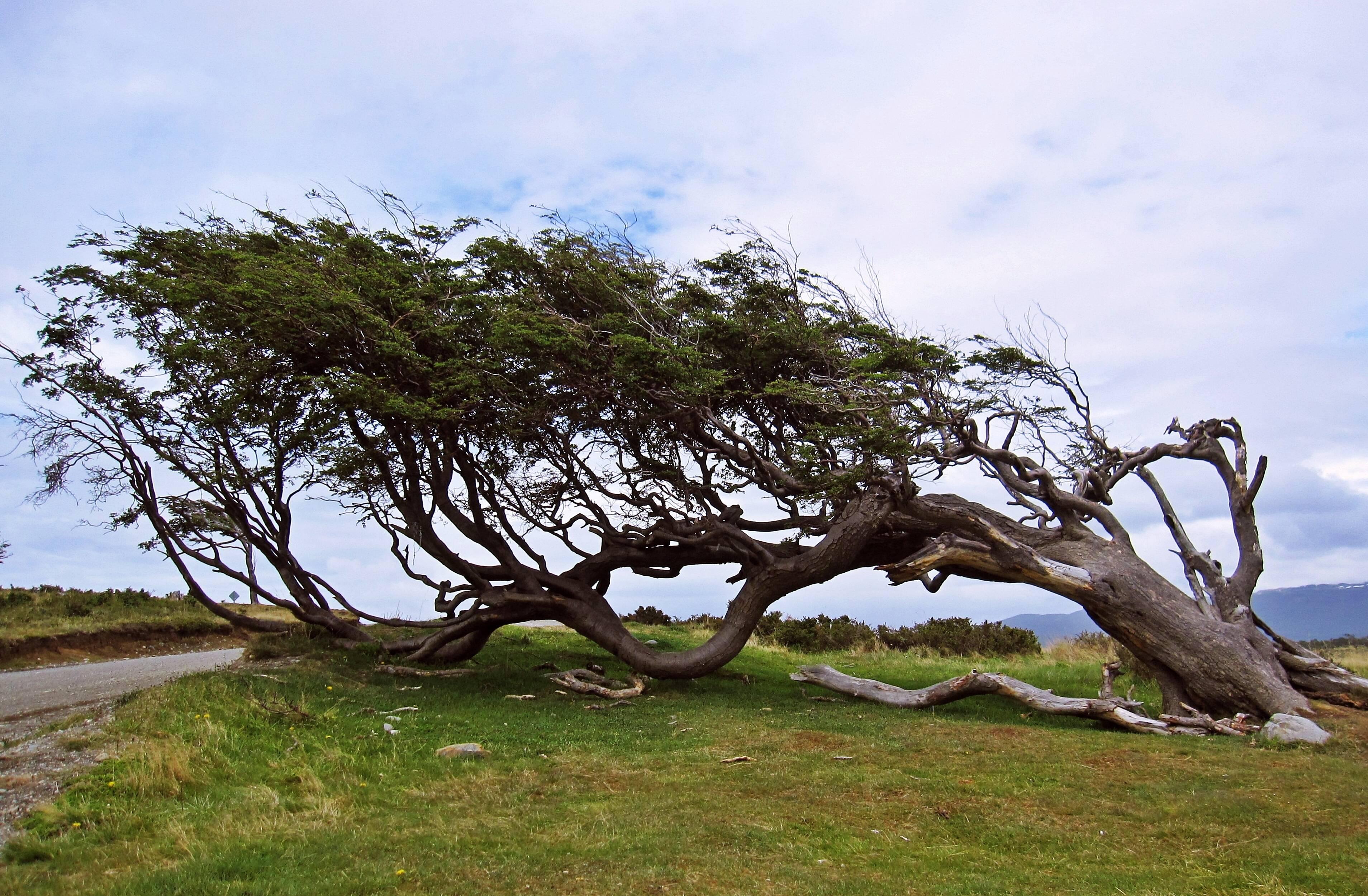 As krummholz, ou banderas, são árvores castigadas pelos ventos que decoram o Parque Nacional da Terra do Fogo. Foto: shutterstock