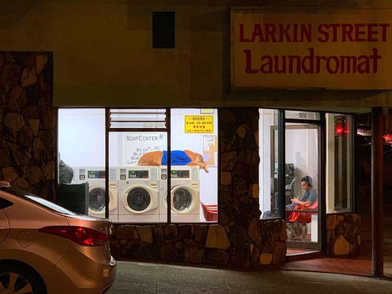Cody é uma grande atração, não apenas entre os clientes, mas com quem passa pela frente da lavanderia. Foto: Reprodução/Instagram/codytheretriever
