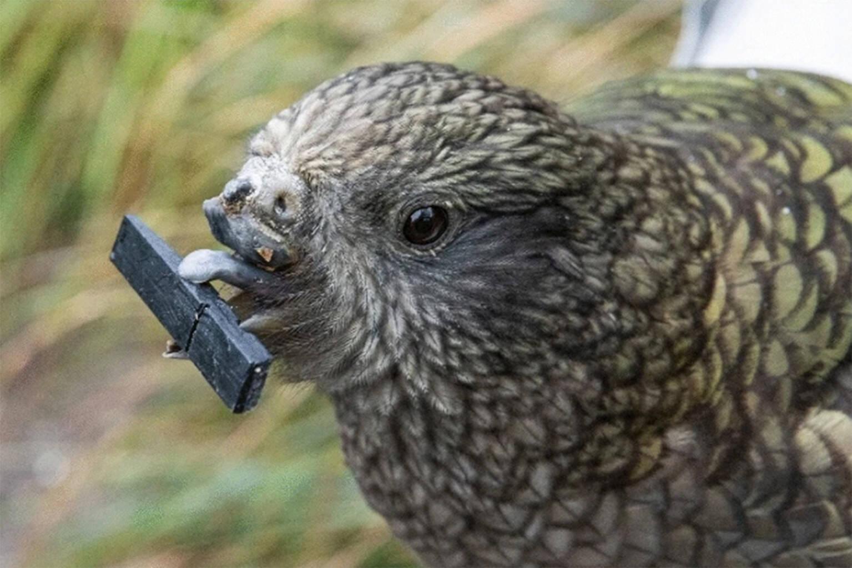 """Bruce, um papagaio Kea parcialmente sem bico, está dando ao termo """"cérebro de pássaro"""" um novo significado ao surpreender os cientistas com suas ferramentas inovadoras de autocuidado.. Foto: Animal Minds/University of Auckl"""
