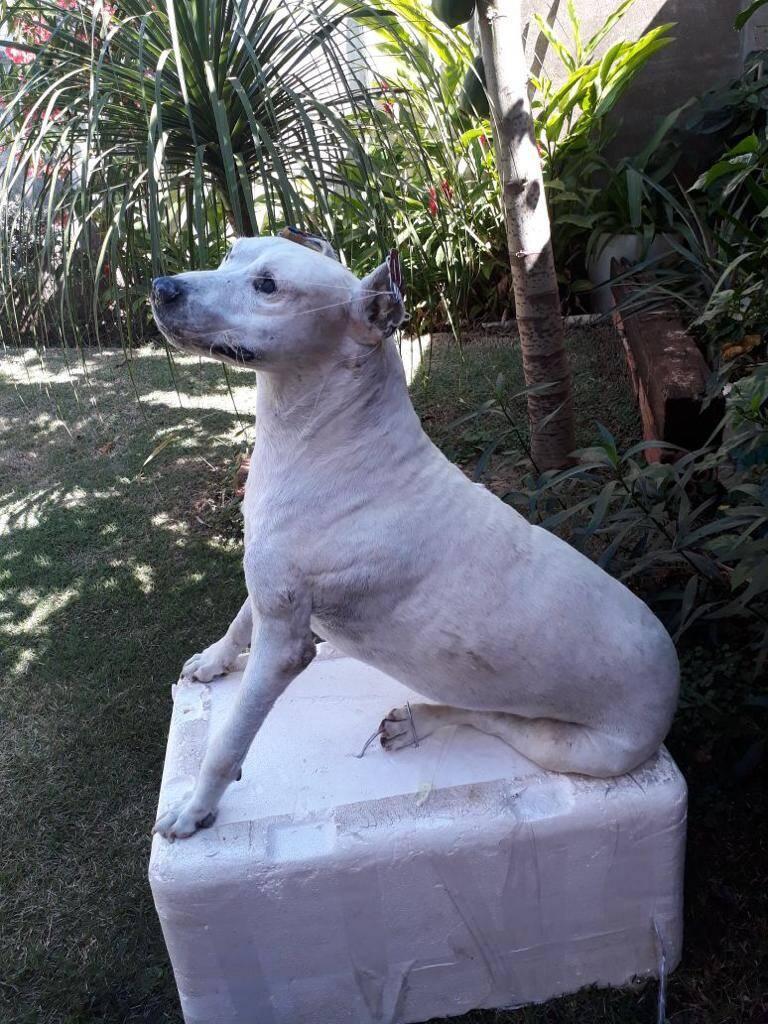 O corpo deste cachorro taxidermizado está mantido como memória no jardim em que costumava brincar em vida. Foto: Reprodução/SOS Animal