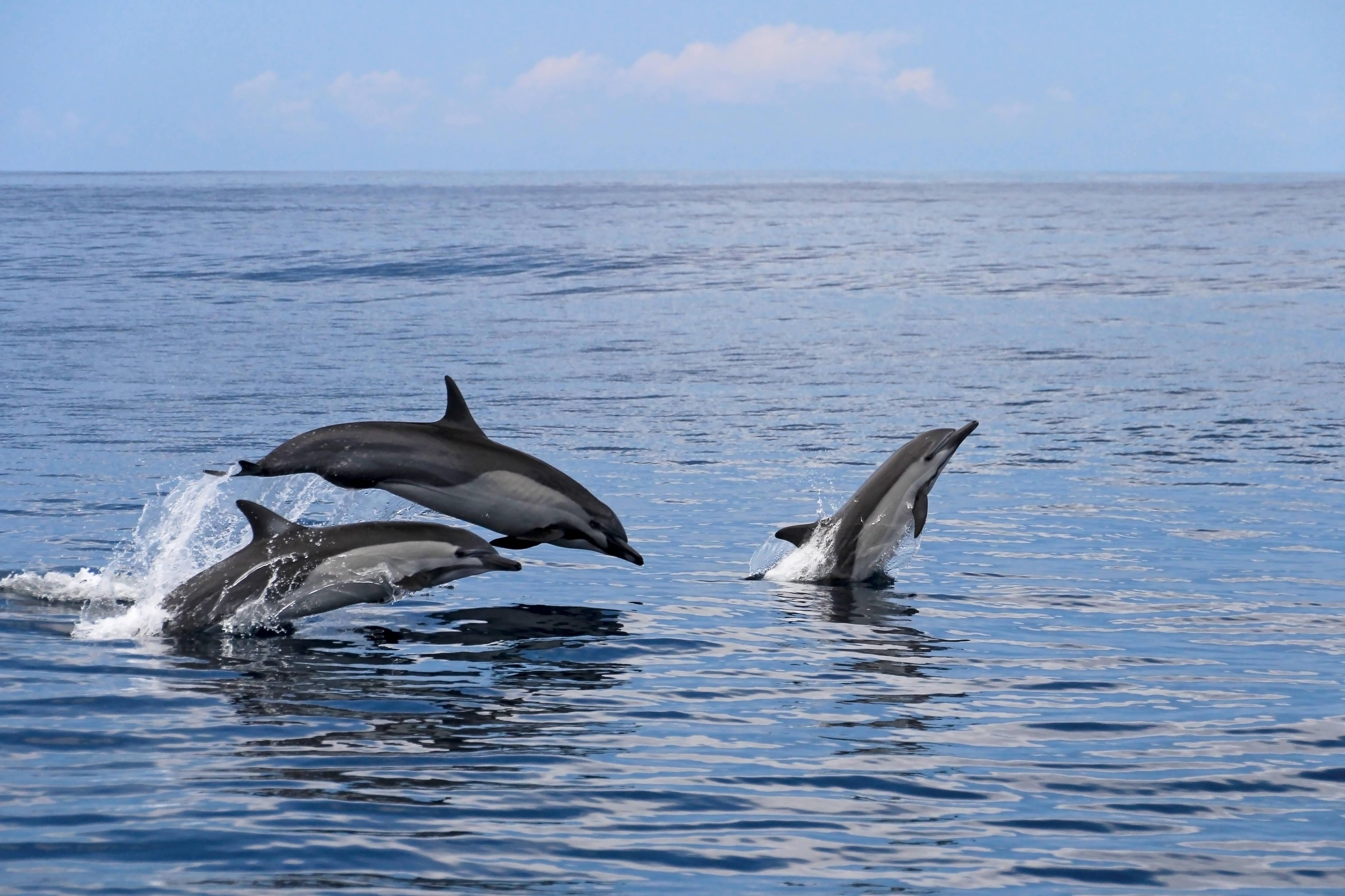 Os golfinhos podem ser observados em diversos pontos do litoral costarriquenho, a exemplo da Reserva de Isla del Caño. Foto: shutterstock