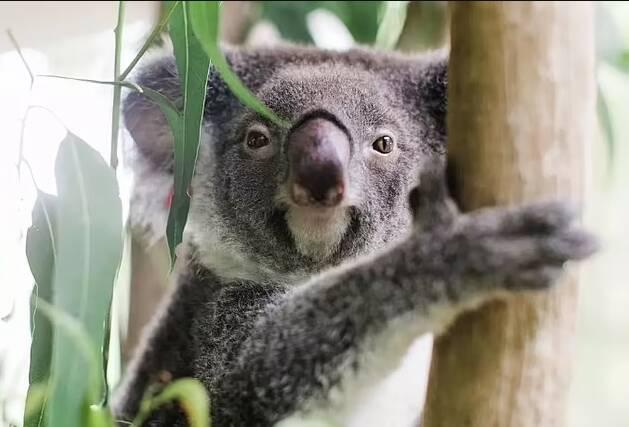 De espécie australiana, coalas vivem nas florestas do país. Foto: IFAW