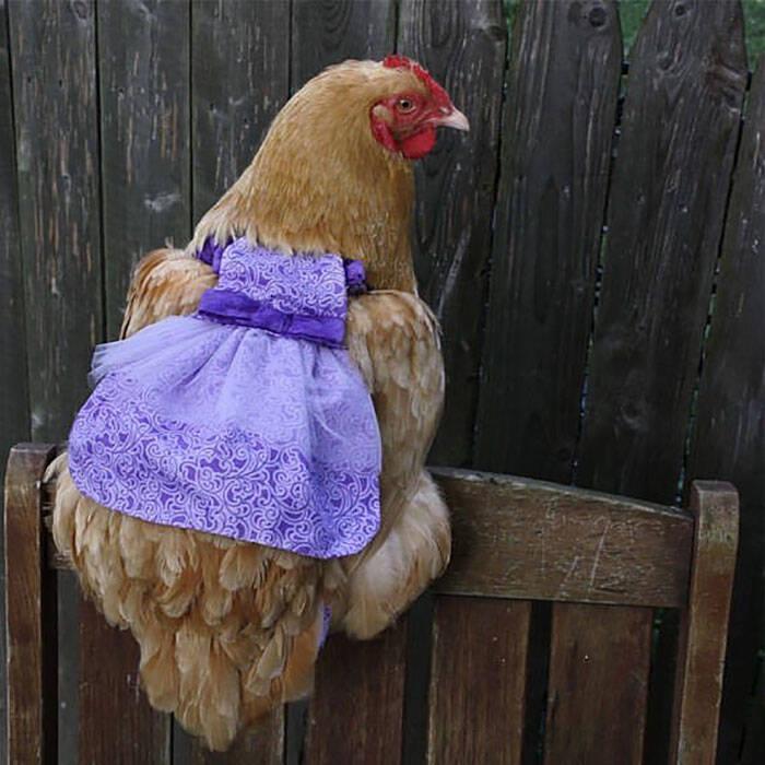 Roupas fisiológicas ou fraldas para galinhas, acessório evita que as pets façam as necessidades pela casa. Foto: Reprodução/Pampered Poultry