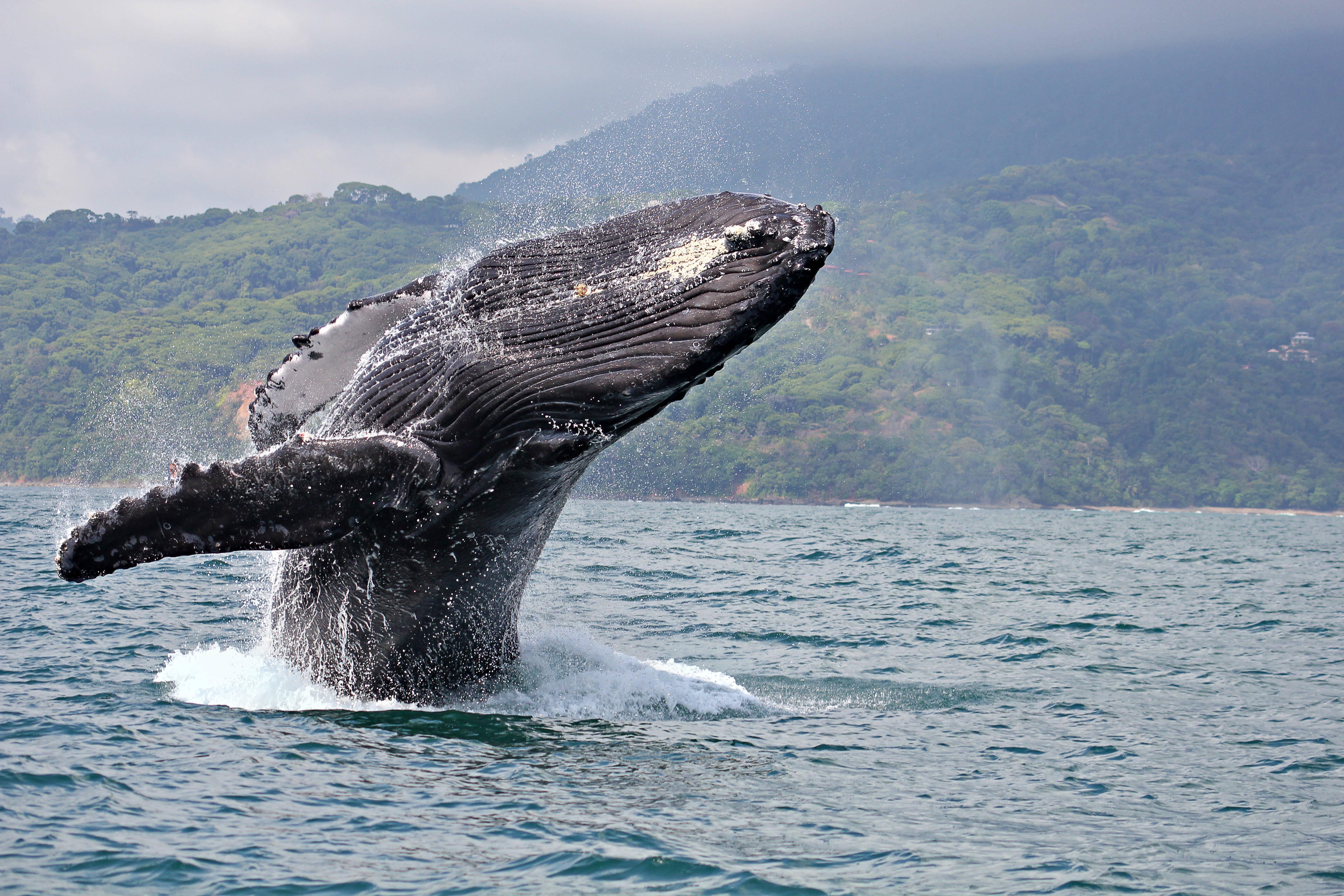Nas águas da Costa Rica, os gigantes tubarões baleia ganham a companhia das também colossais baleias jubarte e outras espécies. Foto: shutterstock