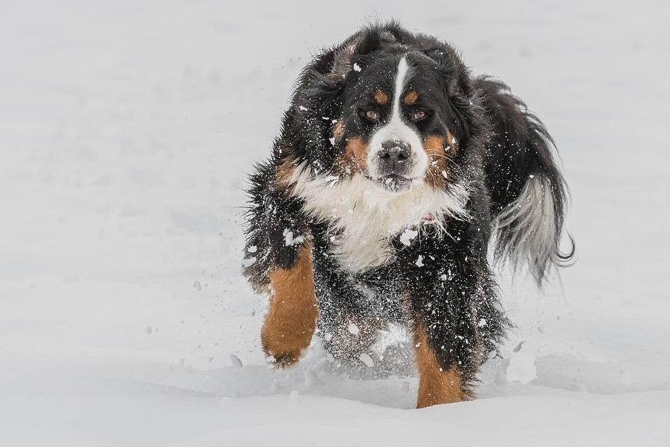 O Bernese é de uma região fria, por isso tem uma pelagem densa capaz de resistir a temperaturas mais baixas. Foto: Pixabay