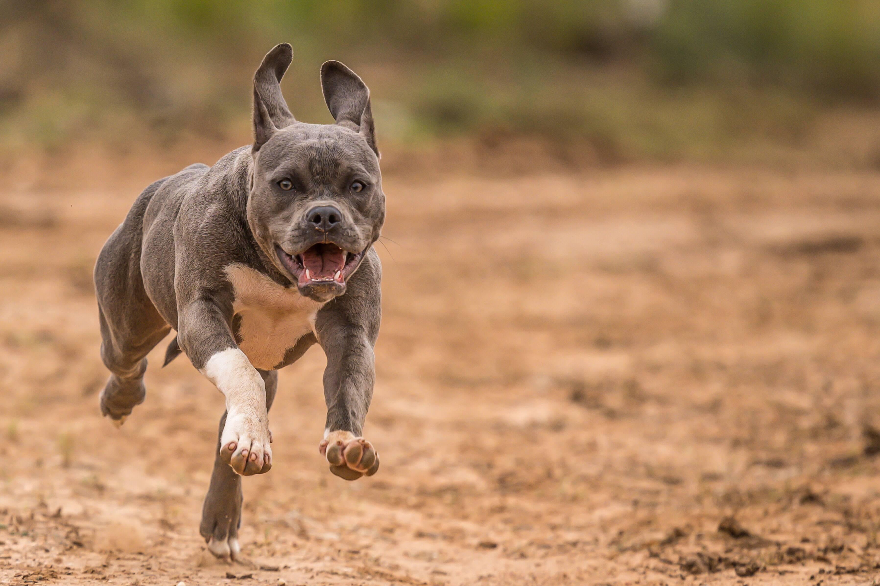 Os pitbulls são predispostos à uma série de doenças devido a sua genética. Foto: Unsplash/Duncan Sanchez