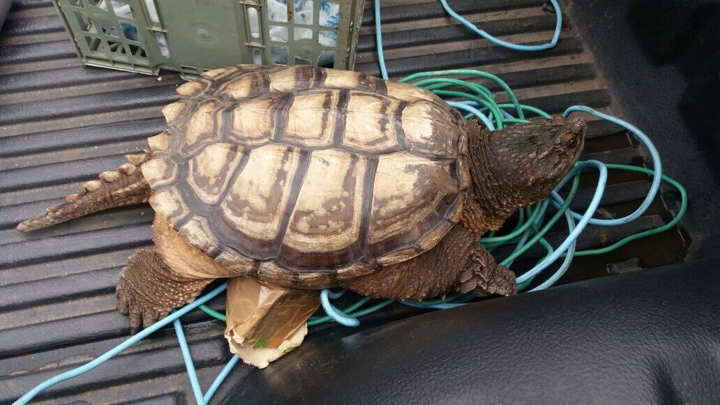 Uma tartaruga mordedora, nativa dos Estados Unidos, também foi encontrada na operação. Foto: Divulgação/Polícia Ambiental