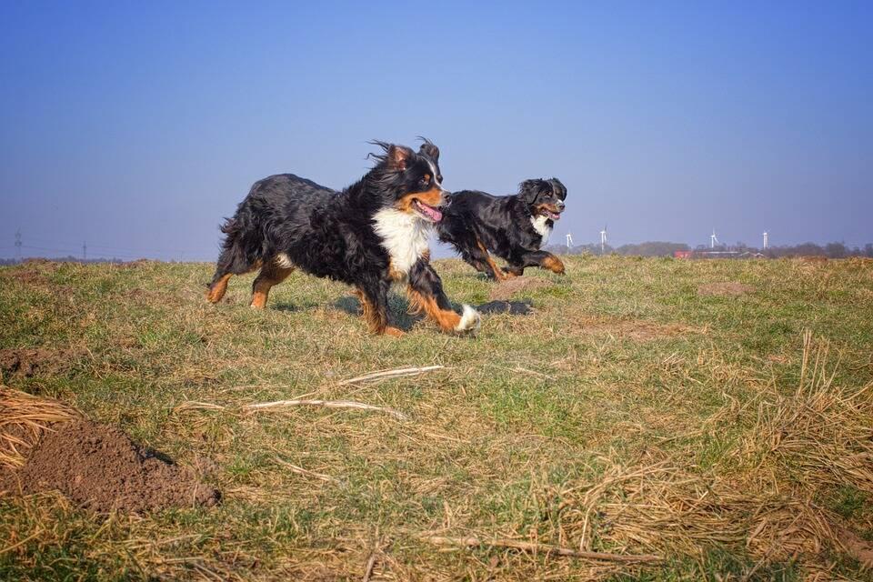 Os Berneses adoram correr e estar em companhia de seus familiares humanos ou de outros animais de estimação . Foto: Pixabay