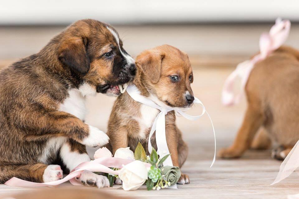 Casamento de Andee e Tina com cachorros em vez de flores. Foto: Facebook/ Cami Zi Photography