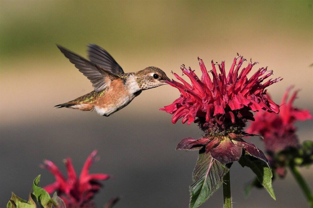 Flores ricas em néctar atraem os beija-flores . Foto: Pixabay