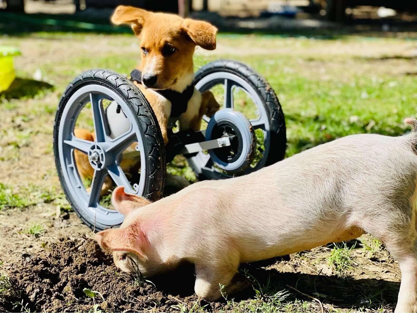 Winnie e Wilma se tornaram os melhores amigos. Foto:  Charlotte's Freedom Farm