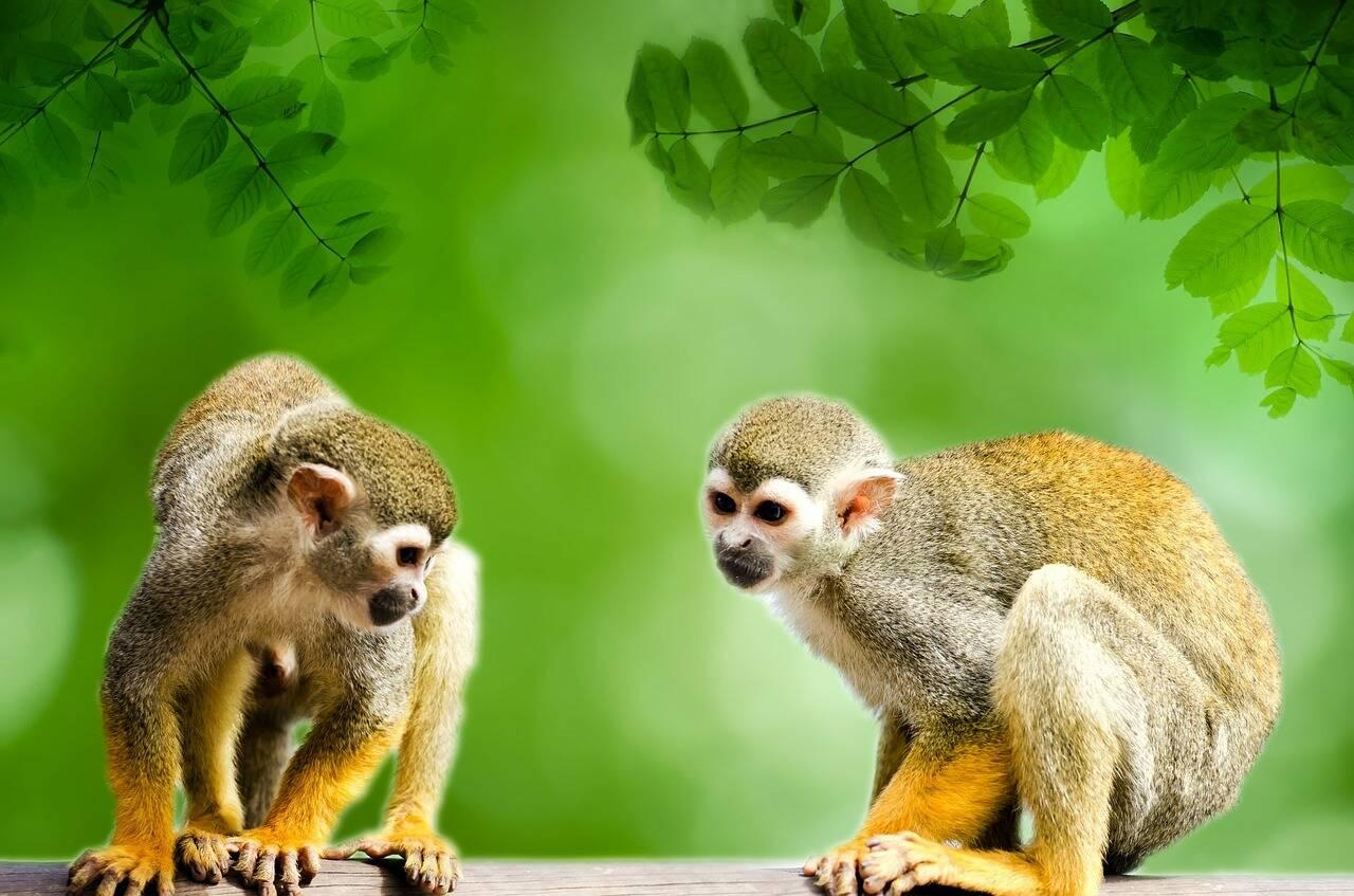 Macacos são um dos animais facilmente encontrados na floresta amazônica. Foto: Pixabay