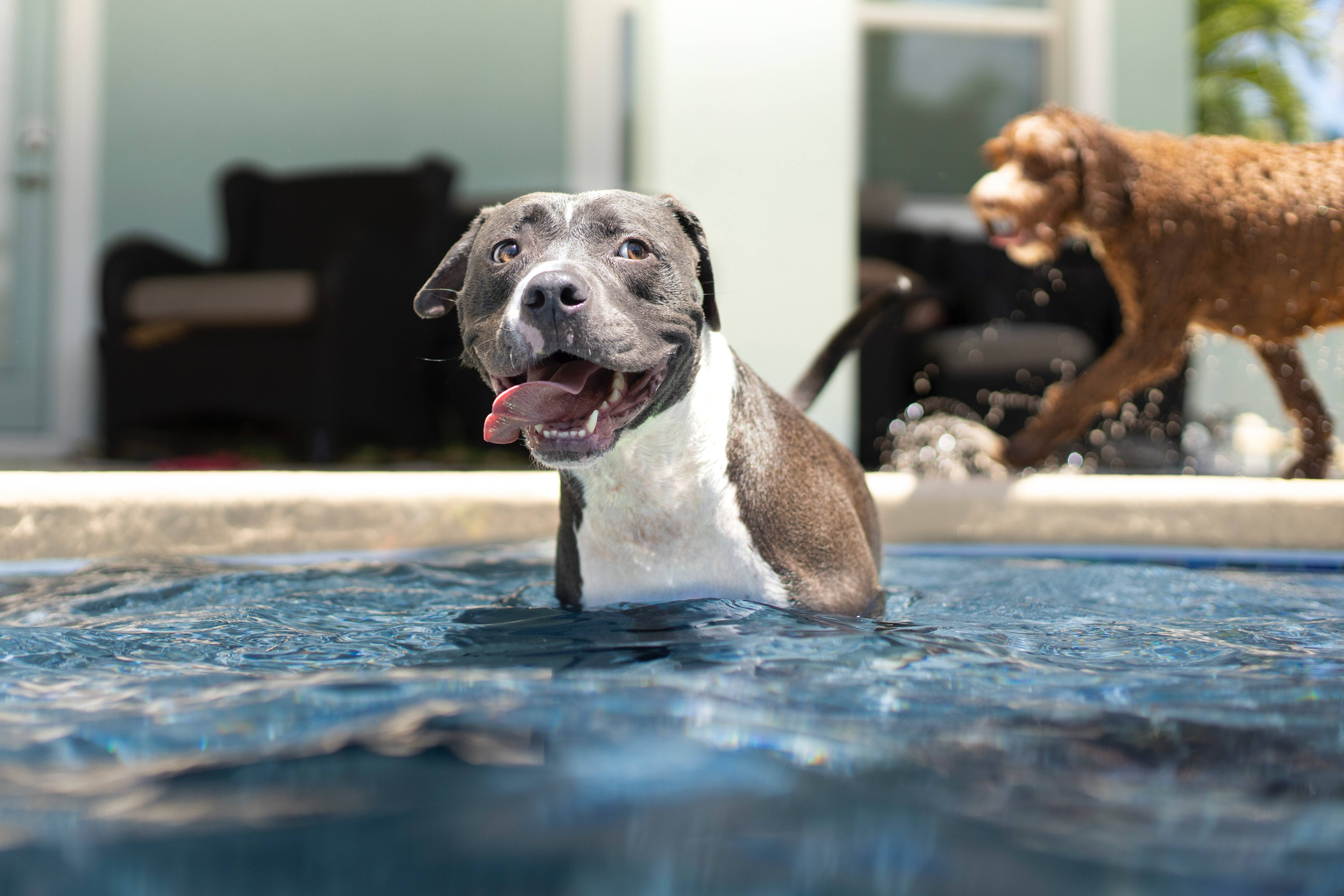 Pitbulls são animais brincalhões e companheiros. Foto: Unsplash/Anthony Duran