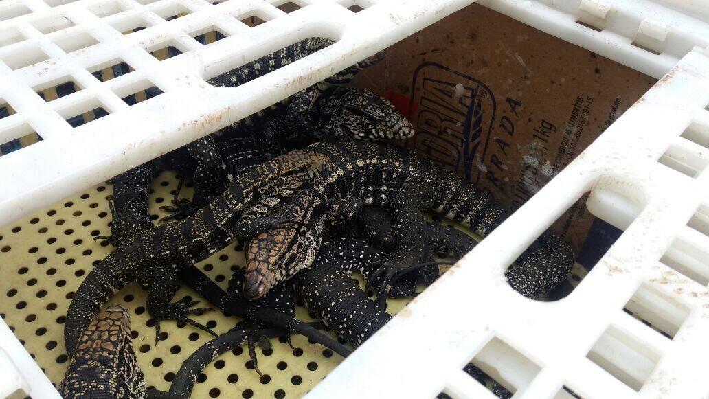 Uma jiboia arco-íris e 11 lagartos foram recuperados pelos oficiais. Foto: Divulgação/Polícia Ambiental