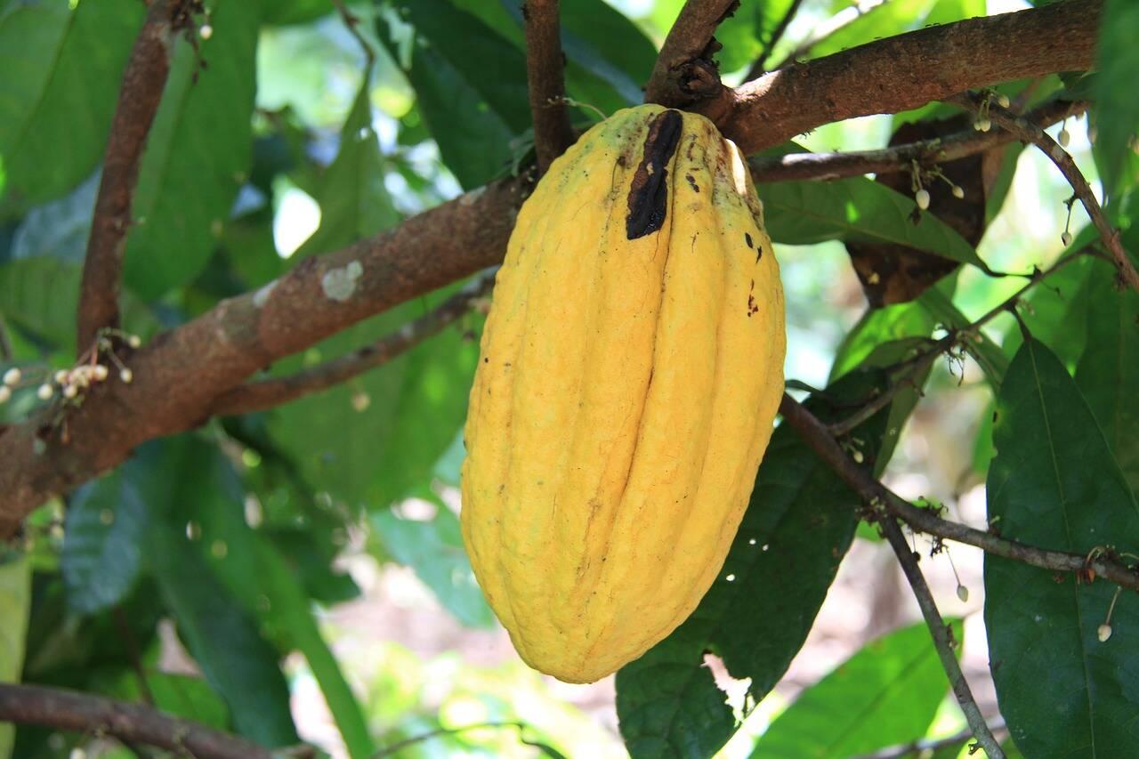 O cacaueiro é originário da chuvosa bacia do rio Amazonas. Foto: Pixabay
