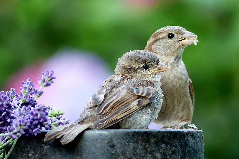 Pássaros por perto sem gaiola. Foto: Pixabay