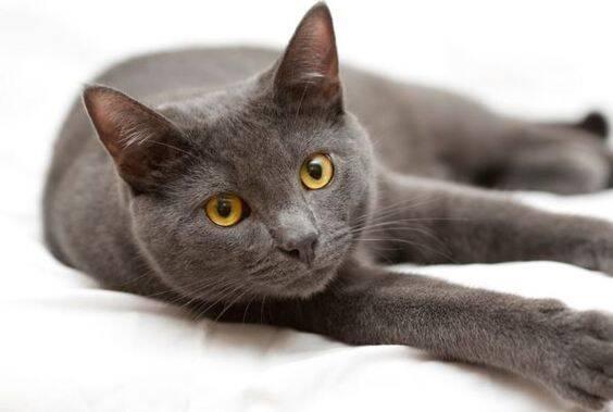 Essas raças de gatos são tão pequenas que derretem o coração de qualquer um. Foto: Reprodução Pinterest