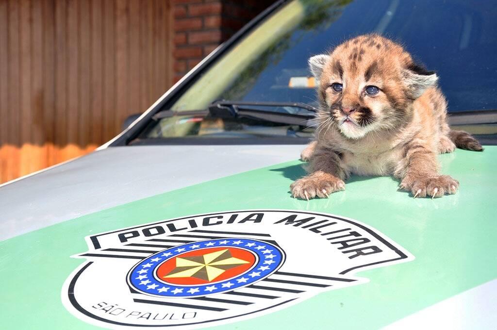 Filhote de onça parda foi encontrada em colheita de cana. Foto: Polícia Militar Ambiental