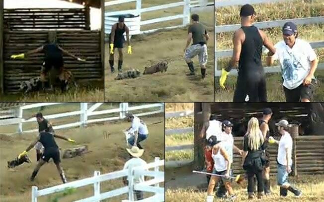 Peões correm atrás dos porcos e depois comemoram ao conseguir colocá-los no chiqueiro
