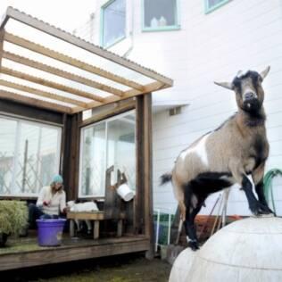 Heidi Kooy ordenha uma de suas cabras em seu quintal, enquanto a outra brinca sobre a casa do cachorro