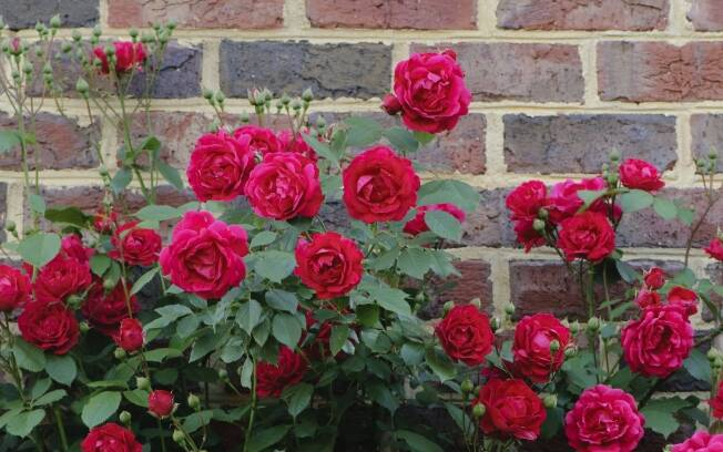 As roseiras devem receber pelo menos seis horas de luz solar direta