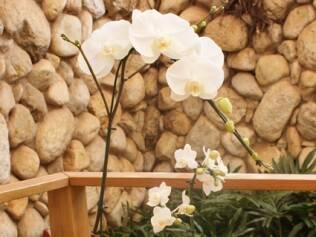 As flores da miniorquídea Phalaenopsis medem de 3 a 4,5 cm