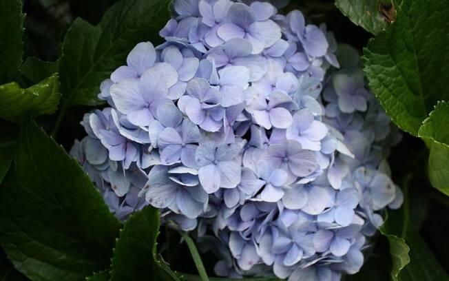 Cada haste da hortênsia é composta por dezenas de flores