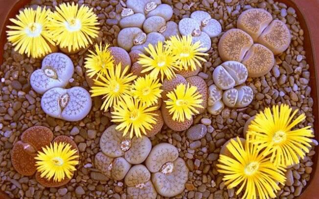 Originária da África da Sul, a lithops é uma planta de pele lisa e aparência de pedra