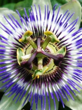 Calmante: passiflora age no sistema nervoso