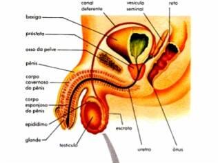 A região da glande é a mais prazerosa do pênis