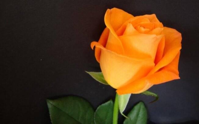 Popular em todo o mundo, a rosa chegou ao Brasil no século 16