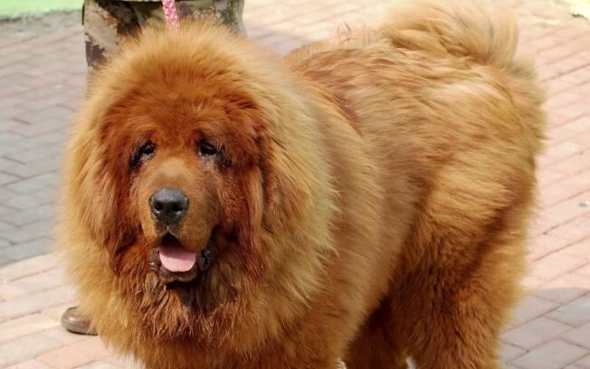 c o mastiff tibetano o mais caro do mundo ci ncia ig. Black Bedroom Furniture Sets. Home Design Ideas