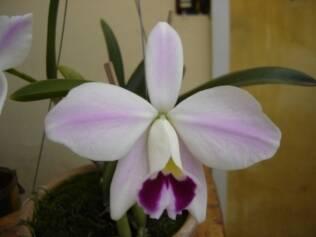 Orquídea Laelia pumila imperatriz