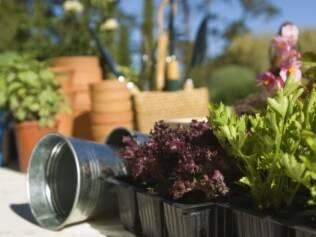 Ao comprar a muda, é necessário observar o aspecto das folhas e a qualidade do torrão