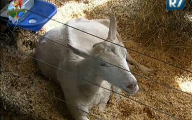Cabra Jane está prenha e pode parir a qualquer momento