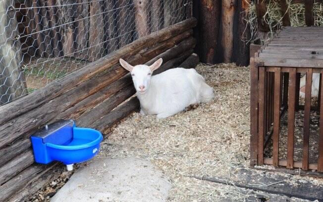 As cabras também são novas na parte dos animais