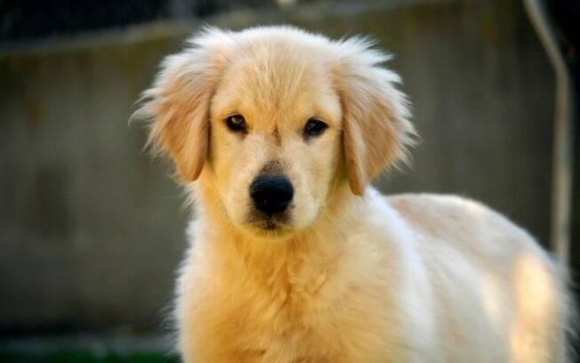 Fred é um filhote de golden retriever que foi selecionado para ser cão-guia