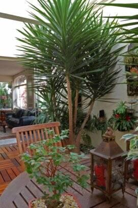 Pequenos espa os grandes jardins jardinagem ig - Yucca elephantipes cuidados ...