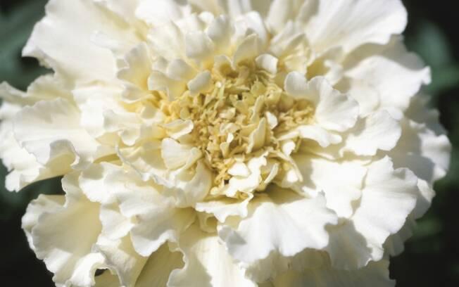 O cravo é a flor mais vendida na Inglaterra