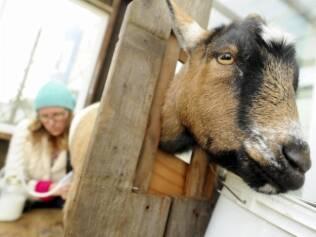 Uma das cabras anãs nigerianas sendo ordenhada no quintal