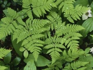 As samambaias devem ser cultivadas em ambientes de meia-sombra